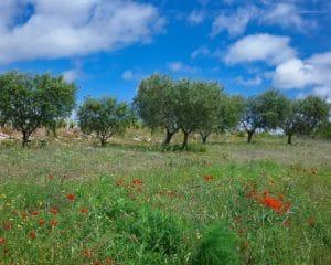 Champs d'oliviers et de coquelicots dans l'Aude