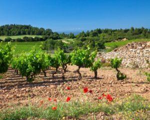 vignes à Caunes Minervois, Aude